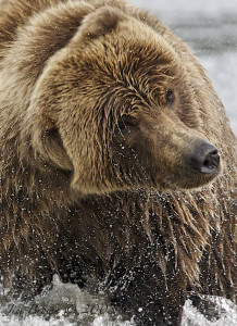 Jim Brown wildlife photography grizzly bear