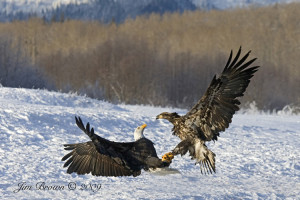 Jim Brown wildlife photograph Bald Eagle Fight