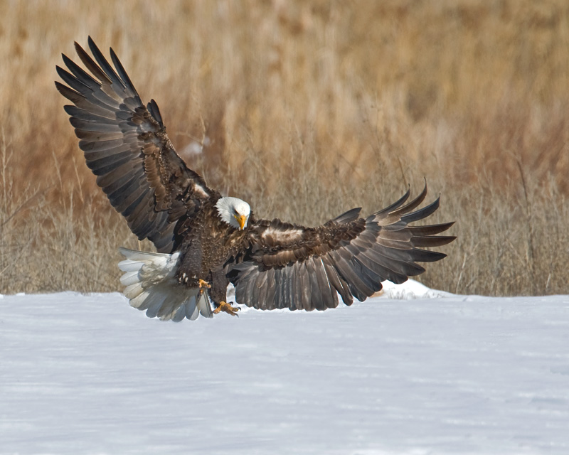 Bald Eagle wildlife photo in Alaska